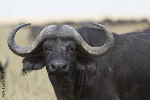 Deurstickers Buffel African cape buffalo portrait