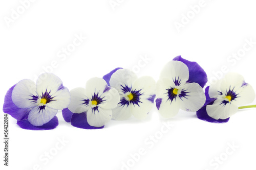 a row of purple pansies