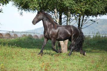 Friesian horse running in autumn