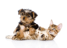 Purebred Bengal Kitten And Yorkshire Terrier  Puppy Together.