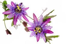 Passionsblumen: Passiflora Vio...
