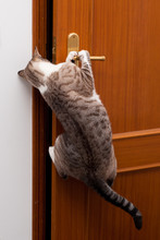 Gato Assaltante