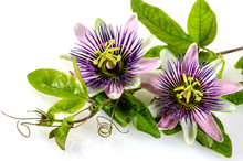Passionsblumen: Passiflora Inc...