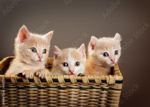 Obraz Trzy czerwone brytyjskie kocięta - fototapety do salonu