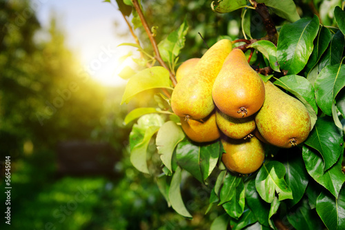 Photo Fresh organic pears on tree branch