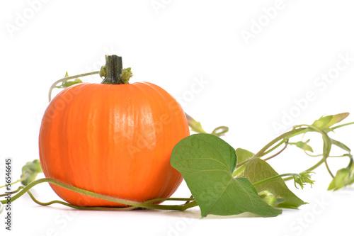 Fotografie, Obraz  Pumpkin Vine