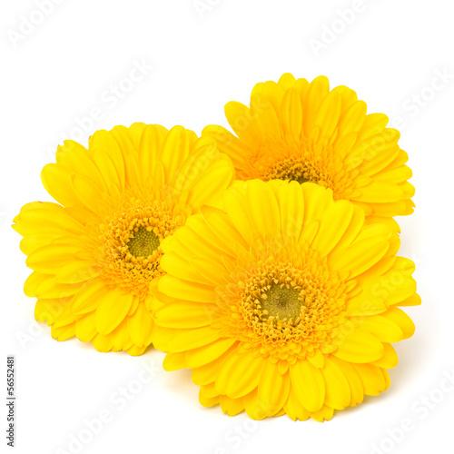 Fotografie, Tablou Beautiful daisy gerbera flowers
