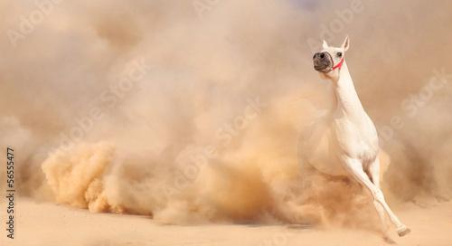 Foto op Canvas Paarden horse in dust