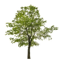 Single Green Linden Tree Isolated On White
