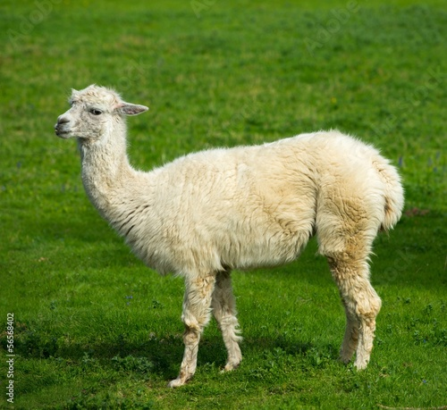 White lama on a meadow