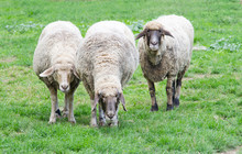 Three Sheep Grazing On Grass L...