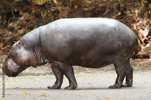 Aluminium Prints Kangaroo Dwergnijlpaard