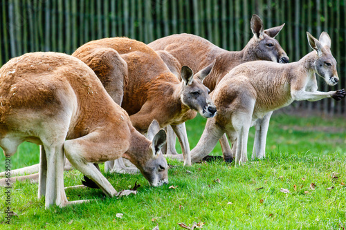Photo Stands Kangaroo Rode reuzenkangoeroe