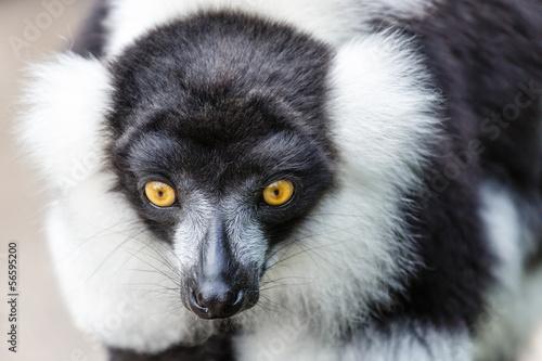 Aluminium Prints Kangaroo Zwart-witte Vari