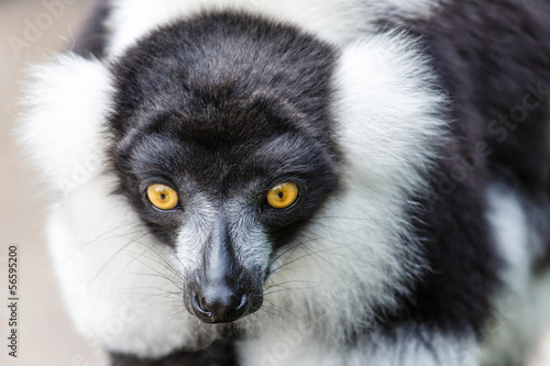 Foto auf AluDibond Kameel Zwart-witte Vari