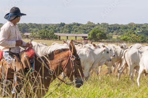 Fazenda Mato grosso Gado nelore, Farm nelore cattle in brazil Fototapeta