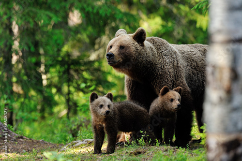Cuadros en Lienzo Brown bear with cups in the forest