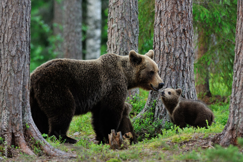 Fototapeta Bear with cubs in the forest