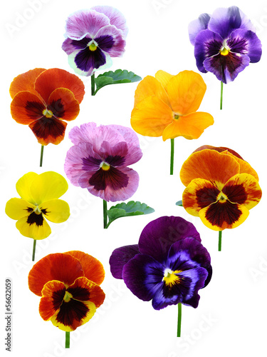 Deurstickers Pansies pansies Violets flowers it is isolated