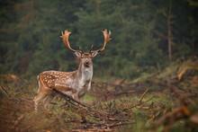 Fallow Deer Looking At Camera