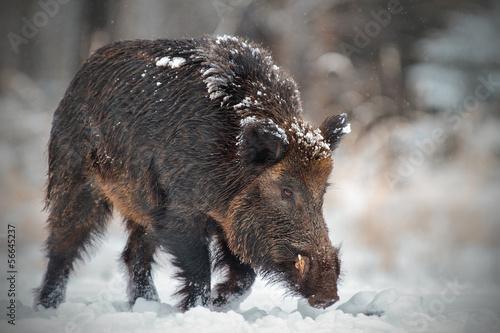 Wild boar runing in snow Canvas