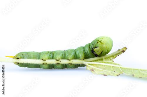 Photo  Sesame web-worm (Ceroprepes sp.)