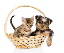 Purebred Bengal Kitten And Yorkshire Terrier Puppy