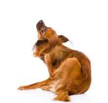Russian Toy Terrier Scratching...