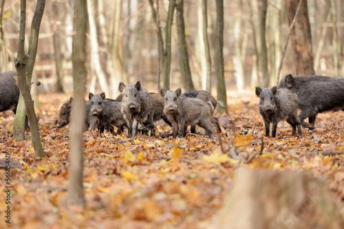 Fototapeta Wild boar in autumn forest obraz