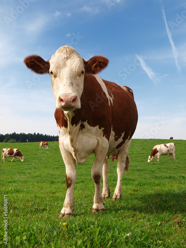 Photo sur Toile Vache vache normande