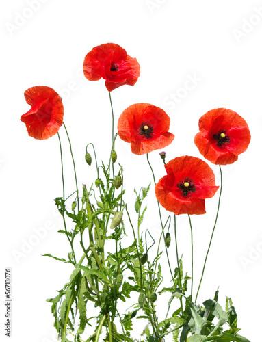 In de dag Poppy red poppies