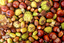 Colourful Autumnal Conkers, Acorns, Beechnuts And Cobnuts