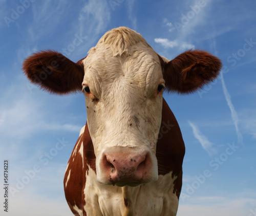 Canvas Print portrait de vache normande