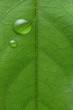 canvas print picture - water drops on leaf