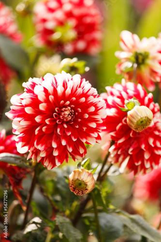 Poster de jardin Dahlia Colorful dahlia flower