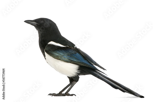 Fotografía Side view of a Common Magpie, Pica pica, isolated on white