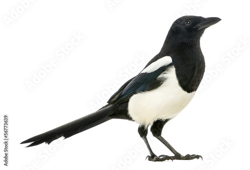Spoed Foto op Canvas Vogel Side view of a Common Magpie, Pica pica, isolated on white