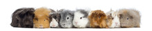 Guinea Pigs In A Row, Isolated...