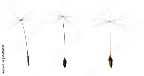 Stickers pour portes Pissenlit three dandelion seeds isolated on white