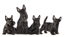 Mother Dogs And Puppies Breed Scotch Terrier