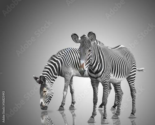 Poster Zebra two zebras