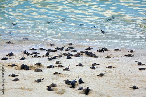 Valokuvatapetti Turtle Hatchlings