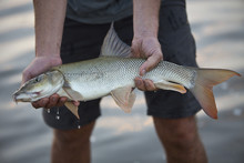 Barbels Are Group Of Small Carp-like Freshwater Fish, Almost All