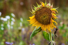 Faded Sunflower Against Natural Autumn Background