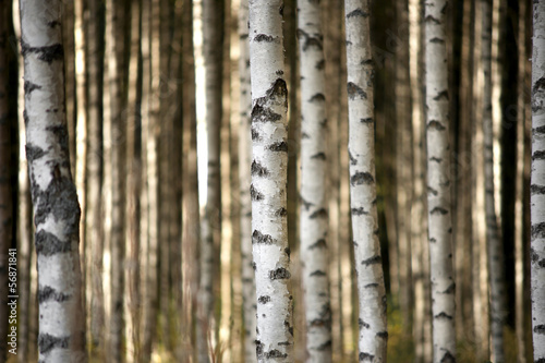 Fototapeta trunks of birch trees