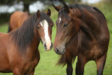 Fototapeta Konie - Beautiful brown horses on pasturage