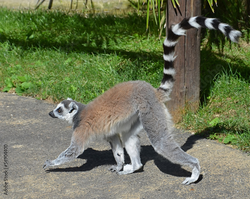 Photo  Walking Lemur