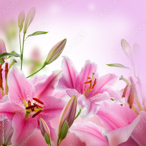 Multi-colored lilies on a dark background