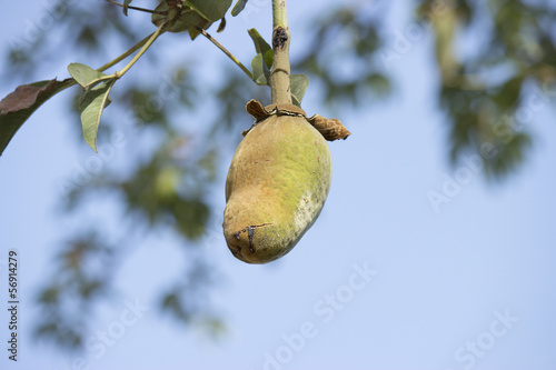 Papiers peints Baobab monkey bread (Adansonia digitata)