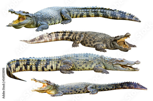 Foto op Plexiglas Krokodil Collection of freshwater crocodile isolated on white background